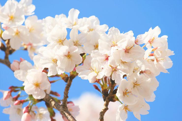 cherry-blossom740